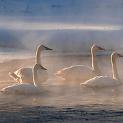 Trumpeter Swans on the Madison River Yellowstone National Park. Wyoming