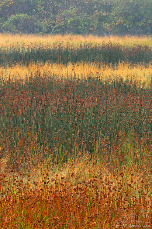 A telephoto lens compresses the view of hardstem bulrush (Schoenoplectus acutus) in the Edmonds Marsh in Washington state, displaying the patches of the wetland plant as stacked layers.
