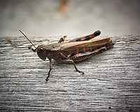 Spur-throated Grasshopper. Image taken with a Nikon 1 V3 camera and 70-300 mm VR lens (ISO 400, 300 mm, f/5.6, 1/640 sec).