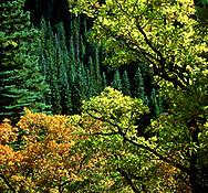 Backlit scrub oak.