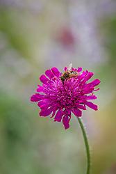 Knautia macedonica with hoverfly