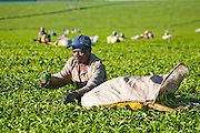 A worker on a tea plantation, near Kericho, Kenya, owned by Unilever. Workers live in company housing and make $3 to $9 US per day, depending on how much tea they pick. They are paid by the kilo. The young tea leaves  are picked every two weeks.