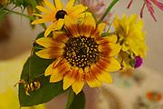 Sunflower close-up, Berks Co., Reading, PA