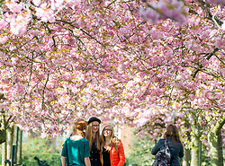 © Licensed to London News Pictures. 10/04/2014. London, UK. A group of friends take photographs.  People walk and play amongst the pink cherry blossom in bright sunshine at Greenwich Park in London today, 10 April 2014,The weather forecast is set to be brighter and warmer over the coming days.Photo credit : Stephen Simpson/LNP