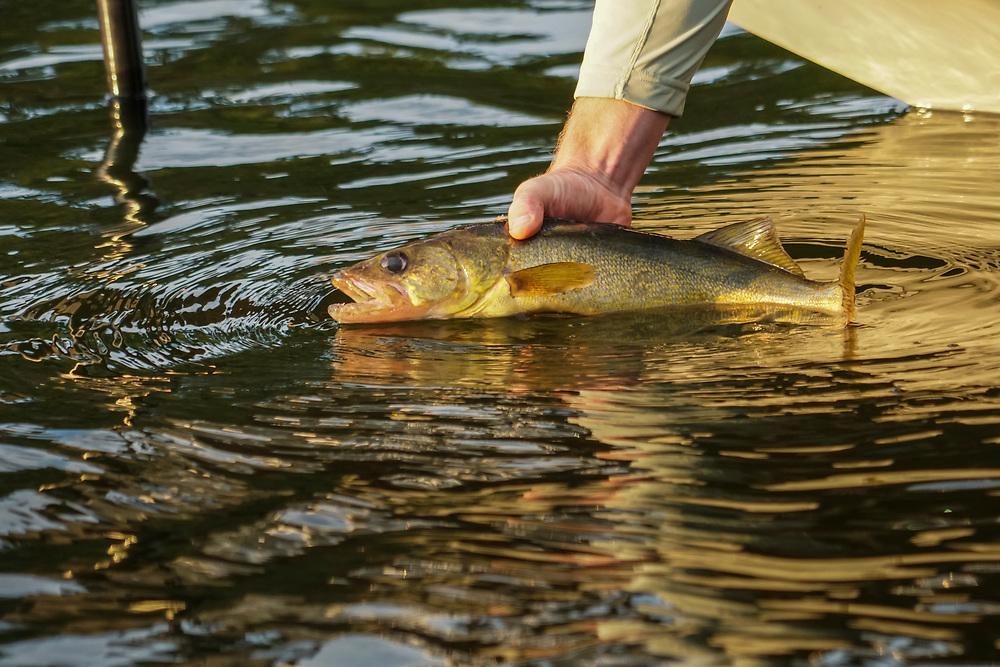 Releasing a walleye while fishing at Deer Lake near Ishpeming, Michigan.