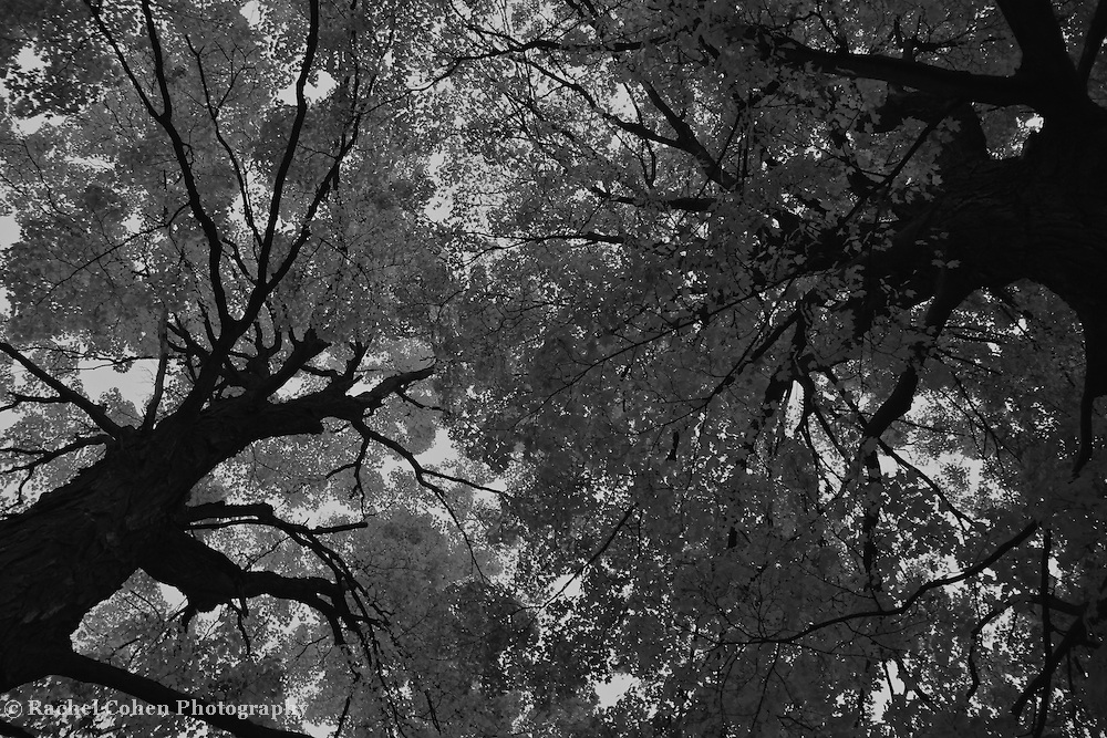 """""""Reach"""" B&W<br /> <br /> Reaching high into the sky, these lovely and ancient huge trees make a wonderful contrasting scene in black and white!!<br /> <br /> Black and White images by Rachel Cohen"""