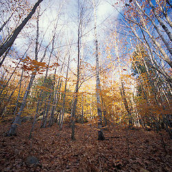 Deerfield, NH.Great Brook Trail.  Paper birch trees in late fall.