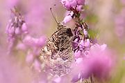 Grayling (Hipparchia semele) butterfly on bell heather. Surrey, UK.