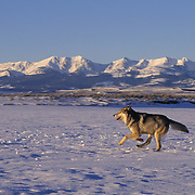 Gray Wolf (Canis lupus) running in Montana. Captive Animal