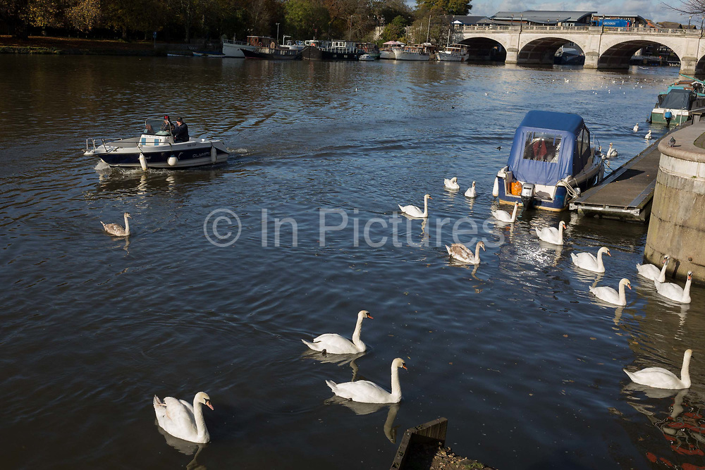 Upstream west from Kingston bridge, a ballet of mute swans paddle along the Thames riverbank, on 7th November 2019, in London, England.