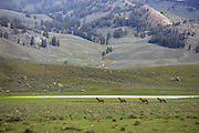 Cow Elk in Yellowstone National Park