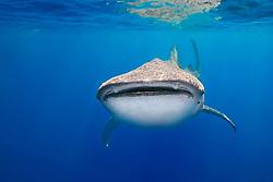 whale shark, Rhincodon typus, off Kohala Coast, Big Island, Hawaii, Pacific Ocean