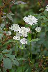 Astrantia major with the buds of Rosa 'Little White Pet'