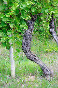 Old Syrah vine on the vineyard Terre D'Argence. Chateau Mourgues du Gres Grès, Costieres de Nimes, Bouches du Rhone, Provence, France, Europe