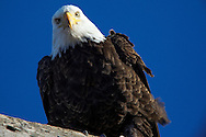 Bald Eagle interested in what is going on around him