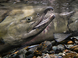 Male chum salmon (Oncorhynchus keta) make their way up the special spawning channel of Herman Creek to spawn with female chum salmon during the fall chum salmon run. The nonprofit Northern Southeast Regional Aquaculture Association, Inc. (NSRAA) built the channel to collect wild broodstock by harvesting spawning female and male salmon for their eggs and milt. <br /> <br /> These chum salmon are returning to freshwater Herman Creek near Haines, Alaska after three to five years in the saltwater ocean. Spawning only once, chum salmon die approximately two weeks after they spawn. Both sexes of adult chum salmon change colors and appearance upon returning to freshwater. Unlike male sockeye salmon which turn bright red for spawning, male chum salmon change color to an olive green with purple and green vertical stripes. These vertical stripes are not as noticeable in females, who also have a dark horizontal band. Both male and female chum salmon develop hooked snout (type) and large canine teeth. These features in female salmon are less pronounced. <br /> <br /> Herman Creek is a tributary of the Klehini River and is only 10 miles downstream of the area currently being explored as a potential site of a copper and zinc mine. The exploration is being conducted by Constantine Metal Resources Ltd. of Vancouver, British Columbia along with investment partner Dowa Metals & Mining Co., Ltd. of Japan. Some local residents and environmental groups are concerned that a mine might threaten the area's salmon. Of particular concern is copper and other heavy metals, found in mine waste, leaching into the Klehini River and the Chilkat River further downstream. Copper and heavy metals are toxic to salmon and bald eagles.<br /> <br /> Chilkat River and Klehini River chum salmon are the primary food source for one of the largest gatherings of bald eagles in the world. Each fall, bald eagles congregate in the Alaska Chilkat Bald Eagle Preserve, located only three miles downriver from the are
