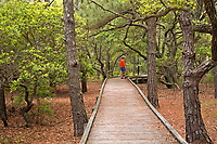 NC01384-00...NORTH CAROLINA - Boardwalk trail through an oak and loblolly pine forest at the Currituck Banks Reserve on the Outer Banks at Corrola.
