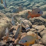 Northern Hogsucker with Longear Sunfish<br /> <br /> Isaac Szabo/Engbretson Underwater Photo