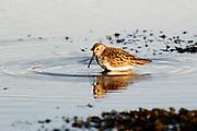 Dunlin, Calidris alpina, in Summer plumage, feeding in shallow seawater, Applecross, Ross-shire, Highland.