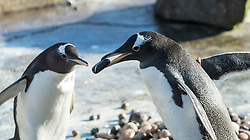 "Whilst the world of modern dating can be complicated – whether to swipe left or right, where to go on your first date and so on – life for the gentoo penguins at RZSS Edinburgh Zoo is thankfully a lot simpler. A kind gesture with a pretty pebble goes a long way.<br />  <br /> Spring is in the air and for the team at RZSS Edinburgh Zoo that means placing the penguin nest rings and pebbles into Penguins Rock to kick start the annual breeding season. It is a noisy and lively time at the Zoo, as the penguins dash towards a mound of perfectly smooth pebbles to find the perfect one to woo their mate with.<br />  <br /> Choosing a pebble is much like choosing an engagement ring – it has to be perfect. The gentoo penguins are no exception and carefully select the prettiest and shiniest pebble to give to their mate. However, occasionally they may spot a better looking pebble in a neighbour's nest and decide to take it for their own, causing a few ruffled feathers!<br />  <br /> Dawn Nicoll, Senior Penguin Keeper at RZSS Edinburgh Zoo, said: ""Penguin breeding season is one of our busiest times here at Edinburgh Zoo and one of the most exciting.<br />  <br /> ""After placing the nests and pebbles in Penguins Rock, it is fantastic to watch the gentoos pick out their favourite stone, find their mate and choose a nest together. It is quite common for gentoos to return to the same nest they have used year after year.""<br />  <br /> Penguins typically court the same mate each breeding season but, contrary to popular belief, not all penguins mate for life. Same sex penguin partnerships are not uncommon and they tend to make great parents, as keepers will redistribute eggs from nests which have too many and give them to same-sex partnered penguins to rear.<br />  <br /> After successfully finding a mate and filling the nest with shiny pebbles, the first eggs should start to appear in April, with the first chicks hatching in May after a 33 to 35-day incubation period. The penguin parents share the incubation and parenting duties and, when the"