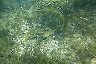 Bluegill (Spawning Nest)<br />