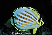 ornate butterflyfish, Chaetodon <br /> ornatissimus, night colors<br /> South Kona, Hawaii, USA ( Pacific )