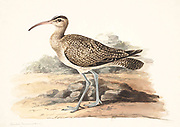 The Eurasian whimbrel (Numenius phaeopus) is a wader in the large family Scolopacidae. It is one of the most widespread of the curlews, breeding across much of subarctic Asia and Europe. 18th century watercolor painting by Elizabeth Gwillim. Lady Elizabeth Symonds Gwillim (21 April 1763 – 21 December 1807) was an artist married to Sir Henry Gwillim, Puisne Judge at the Madras high court until 1808. Lady Gwillim painted a series of about 200 watercolours of Indian birds. Produced about 20 years before John James Audubon, her work has been acclaimed for its accuracy and natural postures as they were drawn from observations of the birds in life. She also painted fishes and flowers. McGill University Library and Archives