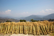 Bundles of wheat drying in the sunshine on the rooftop of small building on the 3rd of March 2020 in Raniswara, Ghairung, Gorkha, Nepal.