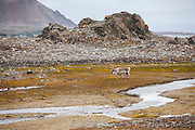 A lone male reindeer (Rangifer tarandus) wanders up a stream on the coast in Hornsund, Svalbard.