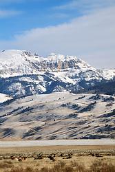 Herd of Bull elk on the National Elk Refuge in Jackson Hole Wyoming, the peak The Sleeping Indian rising above.