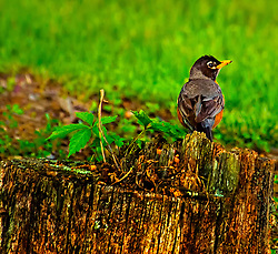 Just a robin taking a seat on an old tree stump looking for something to do.