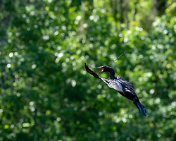 Cormorant returning to the nest with a stick on the Silver River in Ocala Florida.