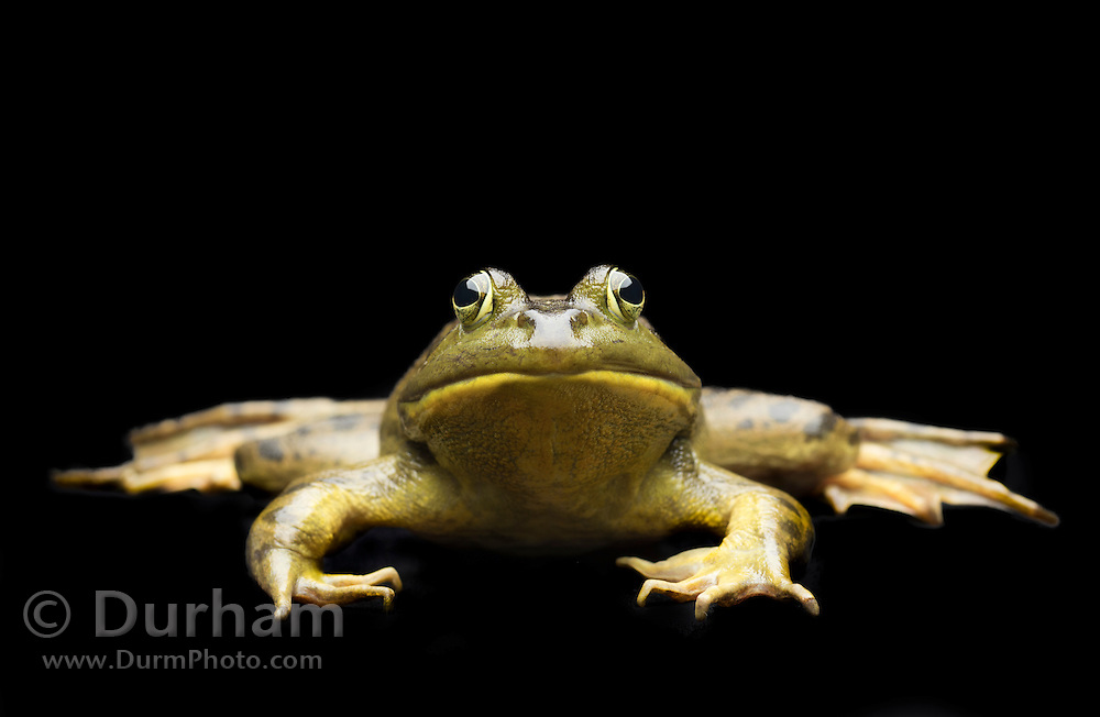 A male American bullfrog (Lithobates catesbeianus) - an invasive species in the western North America.