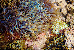 A variety of anemones in a shallow pool on Turtle Reef, in Talbot Bay on the Kimberley coast.   The area is rich in marine life.