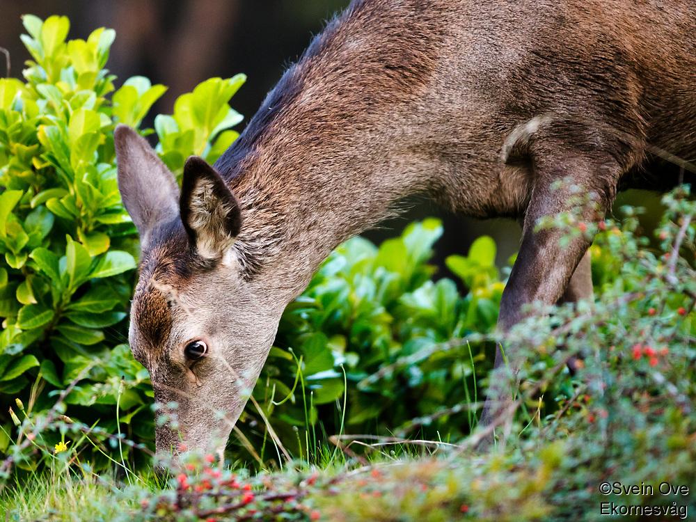 Hjort på hagebesøk til frokost.<br /> Foto: Svein Ove Ekornesvåg