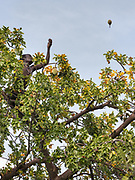 Climbing a Baobab tree to get baobab fruit, extremely rich in Vitamin C. At the Hadza camp of Senkele.