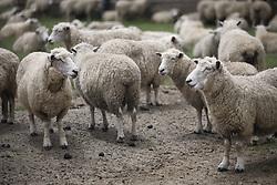 July 21, 2019 - Sheep  (Credit Image: © Deddeda/Design Pics via ZUMA Wire)
