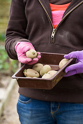 Molly planting potatoes - tray of chitted potatoes ready to plant