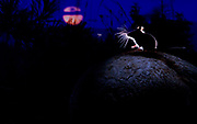 MOUSE, MOON AND MOSQUITO | Deer mouse and persistent mosquito under the rising moon in Blackfoot Valley, western Montana, United States.