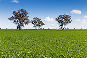 Trees in field of green early wheat crop under cumulus clouds near Lockhart, New South Wales, Australia <br /> <br /> Editions:- Open Edition Print / Stock Image