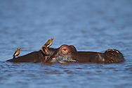 Hippopotamus, (Hippopotamus amphibius), Zimanga Private Nature Reserve, KwaZulu Natal, South Africa