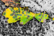 Bigleaf maple leaves (Acer macrophyllum), autumn, Clallam County, Olympic Peninsula, Washington, USA