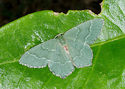 Close-up of a Common emerald moth (Hermithea aestivaria) resting on a leaf in a Norfolk garden in summer
