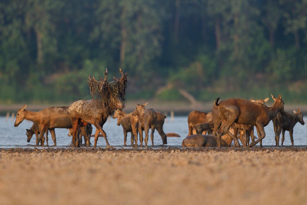 A big herd of Père David's deer, or Milu, Elaphurus davidianus, on the shore of the Yangtze river in the Hubei Tian'ezhou Milu National Nature Reserve, Shishou, Hubei, China. The dominant harem-keeping stag in the herd.