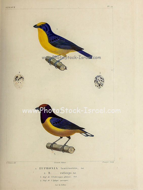 hand coloured sketch Top: thick-billed euphonia (Euphonia laniirostris) Bottom: orange-bellied euphonia (Euphonia xanthogaster) [Here as Euphonia ruficeps]) From the book 'Voyage dans l'Amérique Méridionale' [Journey to South America: (Brazil, the eastern republic of Uruguay, the Argentine Republic, Patagonia, the republic of Chile, the republic of Bolivia, the republic of Peru), executed during the years 1826 - 1833] 4th volume Part 3 By: Orbigny, Alcide Dessalines d', d'Orbigny, 1802-1857; Montagne, Jean François Camille, 1784-1866; Martius, Karl Friedrich Philipp von, 1794-1868 Published Paris :Chez Pitois-Levrault et c.e ... ;1835-1847