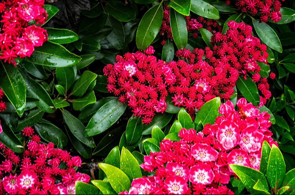 Varigated Blooms of Red & White Mountain Laurel in the rain, on top of Beech Hill, Maine