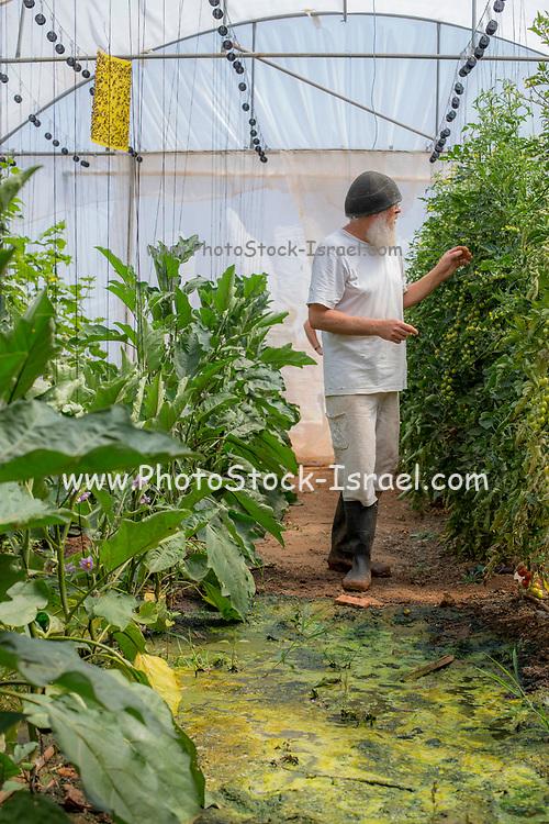 Vegetable farming Photographed in Haniel [a moshav in central Israel. Located in the Sharon plain near Netanya and Kfar Yona], Israel