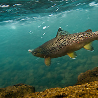Brown trout fighting angler after hooked on dry fly.