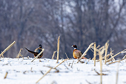 Ring-necked pheasant (male) run across the frozen ground of the central Illinois Prairie a few days after ice and snow accumulation before taking flight.