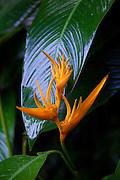 Heliconia, Hawaii